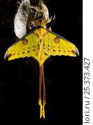 Купить «Madagascar moon / Comet moth (Argema mittrei) beside coccoon, captive, Madagascar.», фото № 25373427, снято 20 сентября 2018 г. (c) Nature Picture Library / Фотобанк Лори