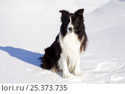 Купить «Border collie sitting in snow, in open field, Illinois, USA», фото № 25373735, снято 18 декабря 2018 г. (c) Nature Picture Library / Фотобанк Лори
