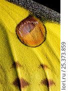 Купить «Close up of pattern on wing of Madagascar moon / Comet moth (Argema mittrei) captive, Madagascar.», фото № 25373859, снято 20 сентября 2018 г. (c) Nature Picture Library / Фотобанк Лори