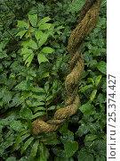 Купить «Detail of rainforest plants after rain. A twisted liana and glossy leaves of understory plants, Bioko Island, Equatorial Guinea, January 2008», фото № 25374427, снято 27 мая 2019 г. (c) Nature Picture Library / Фотобанк Лори