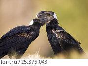 Купить «Thick billed ravens (Corvus crassirostris) Simien Mountains National Park, Ethiopia, November», фото № 25375043, снято 18 января 2020 г. (c) Nature Picture Library / Фотобанк Лори