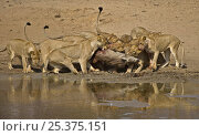 Купить «African lions (Panthera leo) killing Warthog (Phacochoerus aethiopicus) at waterhole after ambush, South Luangwa, Zambia (non-ex)», фото № 25375151, снято 21 июля 2018 г. (c) Nature Picture Library / Фотобанк Лори