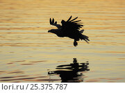 Купить «Silhouette of White tailed sea eagle {Haliaeetus albicilla} flying low over sea, Flatanger, Nord-Trondelag, Norway, August», фото № 25375787, снято 16 декабря 2018 г. (c) Nature Picture Library / Фотобанк Лори