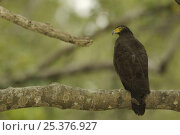 Купить «Crested Serpent Eagle (Spilornis cheela) perched along the side of a mangrove channel, Sundarban Forest, Khulna Province, Bangladesh.», фото № 25376927, снято 27 мая 2019 г. (c) Nature Picture Library / Фотобанк Лори