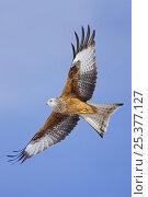 Купить «Red Kite in flight {Milvus milvus} Gigrin Farm, Rhayader, Powys, Wales, UK, January», фото № 25377127, снято 24 сентября 2018 г. (c) Nature Picture Library / Фотобанк Лори