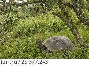 Galapagos Giant Tortoise (Geochelone elephantophus vandenburghi) in vegetation on the rim of the Alcedo Volcano, Alcedo Volcano crater floor, Isabela Island. Стоковое фото, фотограф Pete Oxford / Nature Picture Library / Фотобанк Лори