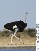 Купить «RF- Ostrich (Struthio camelus) male walking beside water, Etosha National Park, Namibia, June.», фото № 25377283, снято 14 декабря 2018 г. (c) Nature Picture Library / Фотобанк Лори