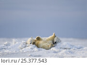 Купить «Polar bear (Ursus maritimus) collared sow with spring cub resting in jumbled pack ice along the Arctic coast, 1002 area of the Arctic National Wildlife Refuge, Alaska, Early autumn, October 2008», фото № 25377543, снято 6 июня 2020 г. (c) Nature Picture Library / Фотобанк Лори