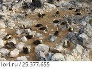 Купить «Waved Albatross (Phoebastria irrorata) Colony, Punta Cevallos, Española Island, Galapagos Islands, Ecuador, South America. Endemic, Critically endangered», фото № 25377655, снято 17 июня 2019 г. (c) Nature Picture Library / Фотобанк Лори