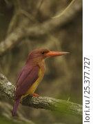Купить «Ruddy Kingfisher (Halcyon coromanda) perched in the mangrove forest, Sundarban Forest, Khulna Province, Bangladesh.», фото № 25377727, снято 27 мая 2019 г. (c) Nature Picture Library / Фотобанк Лори