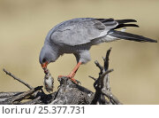 Купить «Pale chanting goshawk (Melierax canorus) feeding on Red billed quelea (Quelea quelea) prey, Etosha National Park, Namibia, June», фото № 25377731, снято 21 марта 2019 г. (c) Nature Picture Library / Фотобанк Лори