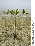 Купить «Individual Red mangrove tree {Rhizophora mangle} getting established in the shallows of mangrove lagoon, Tunicate Cove, Belize.», фото № 25377927, снято 27 мая 2019 г. (c) Nature Picture Library / Фотобанк Лори