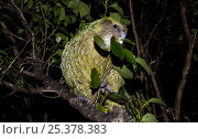 Купить «Kakapo (Strigops habroptila) wild male known as Sirocco feeding on vegetation in tree, night parrot, Codfish Island, off Stewart Island, southern New Zealand, Critically endangered species», фото № 25378383, снято 5 августа 2020 г. (c) Nature Picture Library / Фотобанк Лори