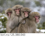 Купить «Four Japanese macaques (Macaca fuscata) huddled together for warmth on a cold day, Shodoshima, Japan», фото № 25380043, снято 26 марта 2019 г. (c) Nature Picture Library / Фотобанк Лори