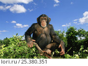 Купить «RF- Chimpanzee (Pan troglodytes) sitting at the top of a tree, captive, Chimfunshi Orphanage, Zambia. Endangered species.», фото № 25380351, снято 16 июля 2018 г. (c) Nature Picture Library / Фотобанк Лори