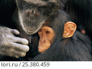 Купить «Chimpanzee (Pan troglodytes) mother with youngster, captive, Chimfunshi Orphanage, Zambia. (non-ex).», фото № 25380459, снято 16 июля 2018 г. (c) Nature Picture Library / Фотобанк Лори