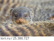 Banded mongoose (Mungos mungo) looking over the back of another, Queen Elizabeth National Park, Uganda. Стоковое фото, фотограф Edwin Giesbers / Nature Picture Library / Фотобанк Лори