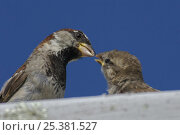 Купить «Male Common / House sparrow (Passer domesticus) feeding juvenile on roof. Isles of Scilly, UK. August», фото № 25381527, снято 15 декабря 2017 г. (c) Nature Picture Library / Фотобанк Лори