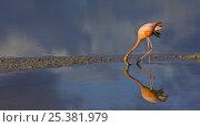 Купить «Greater flamingo {Phoenicopterus ruber} feeding in coastal lagoon, Isabela Island, Galapagos, January», фото № 25381979, снято 22 марта 2019 г. (c) Nature Picture Library / Фотобанк Лори