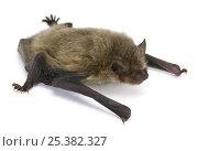Купить «Common pipistrelle bat (Pipistrellus pipistrellus) juvenile, Surrey, England», фото № 25382327, снято 3 апреля 2020 г. (c) Nature Picture Library / Фотобанк Лори