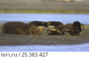 Grizzly bear (Ursus arctos horribilis) spring cubs playing, Alaska (non-ex) Стоковое фото, фотограф Andy Rouse / Nature Picture Library / Фотобанк Лори