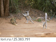 Купить «Ring-tailed Lemur (Lemur catta) female in confrontation over food with female Red-fronted Brown Lemur (Eulemur rufus)  Berenty Private Reserve, Madagascar. Oct 2008.», фото № 25383791, снято 17 августа 2018 г. (c) Nature Picture Library / Фотобанк Лори