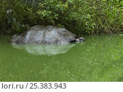 Galapagos giant tortoise (Geocheline nigra / Geochelone elephantopus) adult partially submerged in pond, Santa Cruz, Galapagos  (non-ex) Стоковое фото, фотограф Andy Rouse / Nature Picture Library / Фотобанк Лори