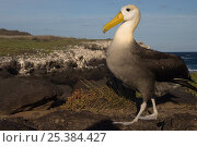 Купить «Waved albatross (Phoebastria irrorata) on rocks, Punta Cevallos, Española Island, Galapagos Islands», фото № 25384427, снято 22 апреля 2019 г. (c) Nature Picture Library / Фотобанк Лори