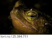 Купить «Green climbing toad (Bufo coniferus) Piedras Blancas National Park, Esquinas Rainforest Lodge, Costa Rica.», фото № 25384711, снято 21 февраля 2020 г. (c) Nature Picture Library / Фотобанк Лори