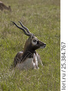 Male Blackbuck (Antilope cervicapra) captive, from India. Стоковое фото, фотограф Rod Williams / Nature Picture Library / Фотобанк Лори