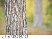 Scots pine tree (Pinus sylvestris) trunk, Oulanka, Finland, September 2008, фото № 25386163, снято 22 июля 2017 г. (c) Nature Picture Library / Фотобанк Лори