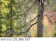 Купить «Spruce (Picea abies)  trees  by the Oulanka River, Finland, September 2008», фото № 25386167, снято 17 июля 2018 г. (c) Nature Picture Library / Фотобанк Лори