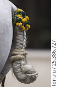 Купить «Traditional tail knot on Purebred grey Andalusian horse in Carriage Exhibition, Sevilla, Spain», фото № 25386727, снято 18 июля 2018 г. (c) Nature Picture Library / Фотобанк Лори