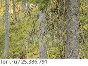 Купить «Lichen {Usnea filipendula} on a Spruce (Picea abies) Oulanka, Finland, September 2008», фото № 25386791, снято 17 июля 2018 г. (c) Nature Picture Library / Фотобанк Лори