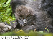 Купить «Mountain gorilla (Gorilla beringei beringei) mother and baby with hairy head, Volcanoes NP, Virunga mountains, Rwanda», фото № 25387127, снято 25 сентября 2018 г. (c) Nature Picture Library / Фотобанк Лори