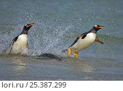 Купить «Gentoo penguin (Pygoscelis papua) emerging from the sea, surfing, Falkland Islands», фото № 25387299, снято 18 сентября 2019 г. (c) Nature Picture Library / Фотобанк Лори