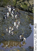 Macaroni penguin (Eudyptes chrysolophus) group crossing stream, South Georgia  (non-ex) Стоковое фото, фотограф Andy Rouse / Nature Picture Library / Фотобанк Лори