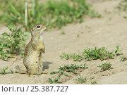Купить «European souslik / ground squirrel (Spermophilus / Citellus citellus) Bulgaria May 2008», фото № 25387727, снято 3 апреля 2020 г. (c) Nature Picture Library / Фотобанк Лори