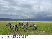 Common zebra (Equus quagga) group, Ngorongoro Crater, Tanzania. Стоковое фото, фотограф Edwin Giesbers / Nature Picture Library / Фотобанк Лори