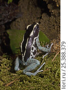 Купить «Dyeing poison dart / arrow frog (Dendrobates tinctorius) captive, from The Guianas», фото № 25388379, снято 29 мая 2020 г. (c) Nature Picture Library / Фотобанк Лори