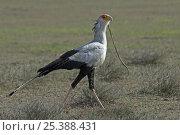 Secretary Bird (Sagittarius serpentarius) carrying snake prey, Tanzania. Стоковое фото, фотограф Edwin Giesbers / Nature Picture Library / Фотобанк Лори