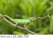 Купить «Panther chameleon (Furcifer pardalis) cathing prey with tongue, sequence 2/4, Madagascar», фото № 25388759, снято 17 июля 2019 г. (c) Nature Picture Library / Фотобанк Лори