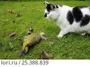 Купить «Green woodpecker (Picus viridis) with tongue extended killed by Domestic cat (Felis catus), UK.», фото № 25388839, снято 14 ноября 2018 г. (c) Nature Picture Library / Фотобанк Лори