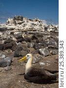 Купить «Waved Albatross (Phoebastria irrorata) with Nazca / Masked Boobies (Sula dactylatra granti) Punta Cevallos, Española Island, Galapagos Islands, (Endemic to Galapagos, Critically endangered)», фото № 25389343, снято 16 августа 2018 г. (c) Nature Picture Library / Фотобанк Лори