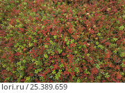 Купить «Cowberry (Vaccinium vitisidaea) and Blueberry (Vaccinium myrtillus) sprigs, Oulanka, Finland, September 2008», фото № 25389659, снято 15 августа 2018 г. (c) Nature Picture Library / Фотобанк Лори