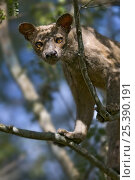 Fossa {Cryptoprocta ferox} in tree, Kirindy Forest, western Madagascar... Стоковое фото, фотограф Mark Carwardine / Nature Picture Library / Фотобанк Лори