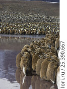 Купить «King Penguin (Aptenodytes patagonicus) large colony, with chicks on the edge, Saint Andrews Bay, South Georgia», фото № 25390667, снято 24 сентября 2018 г. (c) Nature Picture Library / Фотобанк Лори