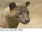 Fossa (Cryptoprocta ferox) portrait, captive, Andasibe National Park... Стоковое фото, фотограф Edwin Giesbers / Nature Picture Library / Фотобанк Лори