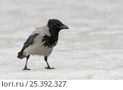 Купить «Hooded crow (Corvus cornix) on snow, Finland, March», фото № 25392327, снято 7 декабря 2017 г. (c) Nature Picture Library / Фотобанк Лори