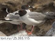 Купить «Two Swallow-tailed Gulls (Larus / Creagrus furcatus) standing on a rock, Punto Cevallos, Española / Hood Island, Galapagos Islands. Endemic», фото № 25393115, снято 20 марта 2019 г. (c) Nature Picture Library / Фотобанк Лори